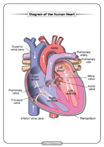 Free Printable Diagram of the Human Heart