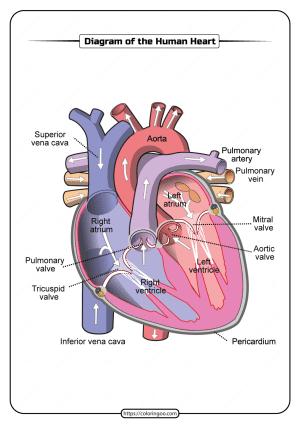 Free Printable Diagram of the Human Heart