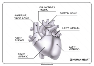 Free Printable Parts of the Human Heart Worksheet